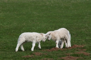 Two lambs fighting each other in a field in spring.