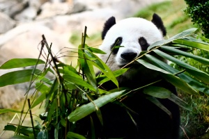 A giant panda is eating bamboo