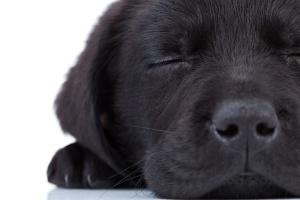 cute little black labrador retriever sleeping on a white background